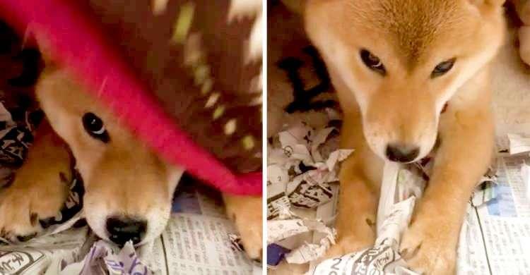 イタズラが見つかってバツの悪そうな柴犬ちゃん。フェイントかけてみたらやっぱり再犯していた(´∀`*)